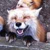 FoxDit's avatar